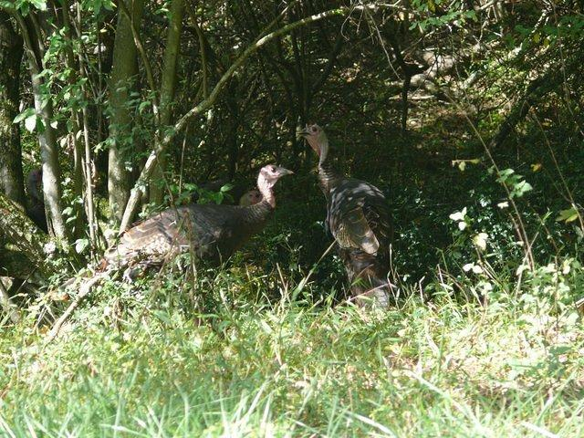 Hen turkeys