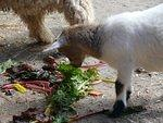 Goat getting some lunch