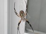 Bottom view of [i]Argiope aurantia[/i].