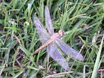Dragonfly sitting in the grass