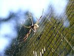 Banana spider (nephila clavipes)