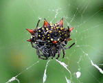 Ventral view of a spinybacked orbweaver (gasteracantha cancriformis)
