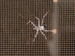 Young wheel bug