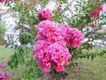 I think these are blossoms from a crepe myrtle